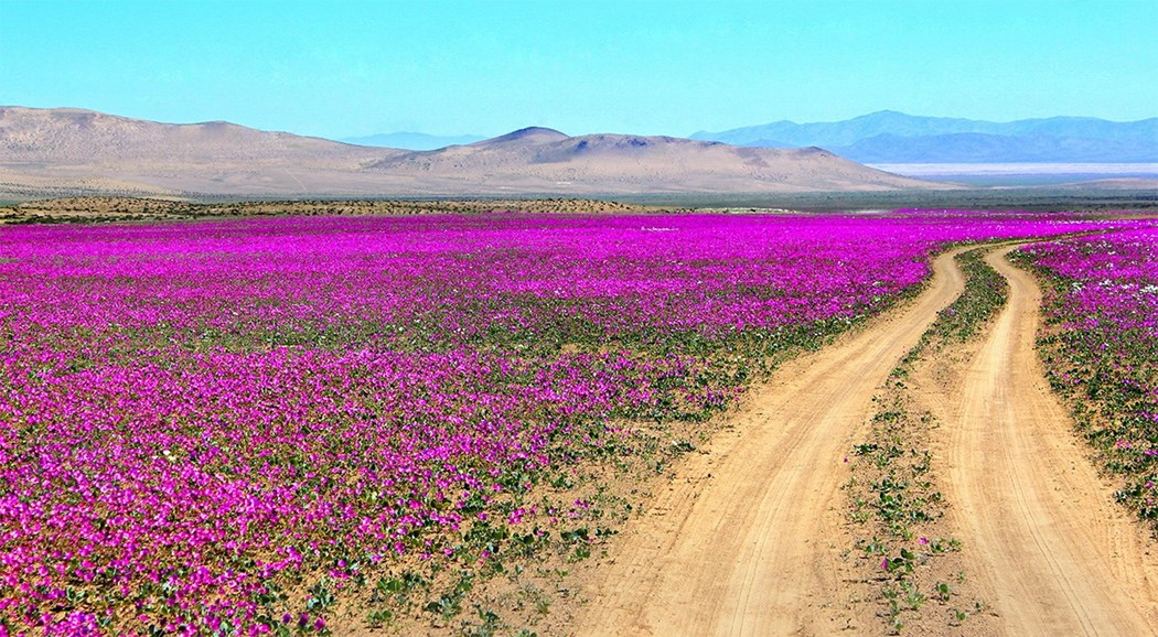How The Atacama Desert Has Been Painted Pink With Flowers Another