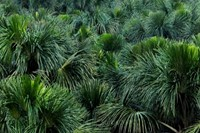 @Soros004 Moriche palms forest in the swamps of th
