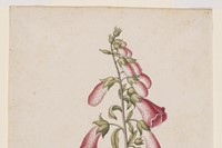 Foxglove, ca 1575, © The Victoria and Albert Museu