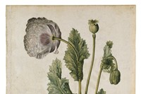 Opium Poppy, ca 1575, © The Victoria and Albert Mu