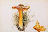 3. Beatrix Potter, Hygrophorus puniceus, pencil an