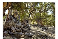 Bristlecone Pine # 0906-3033 (Up to 5,000 years old; White M