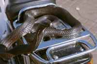 009_osma_harvilahti_Cobra_On_a_Motorbike_2012