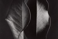 10440 Lot 52 - Ruth Bernhard, 'Two Leaves'