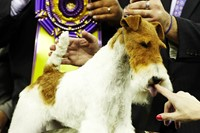 Westminster Kennel Club Best in Show 2014