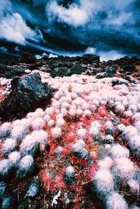 White cacti near Ausangate Mountain in the Andes, Peru