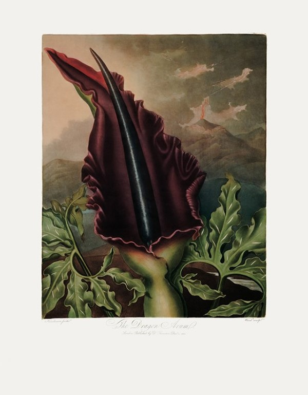 The Dragon Arum by Peter Henderson, 1801
