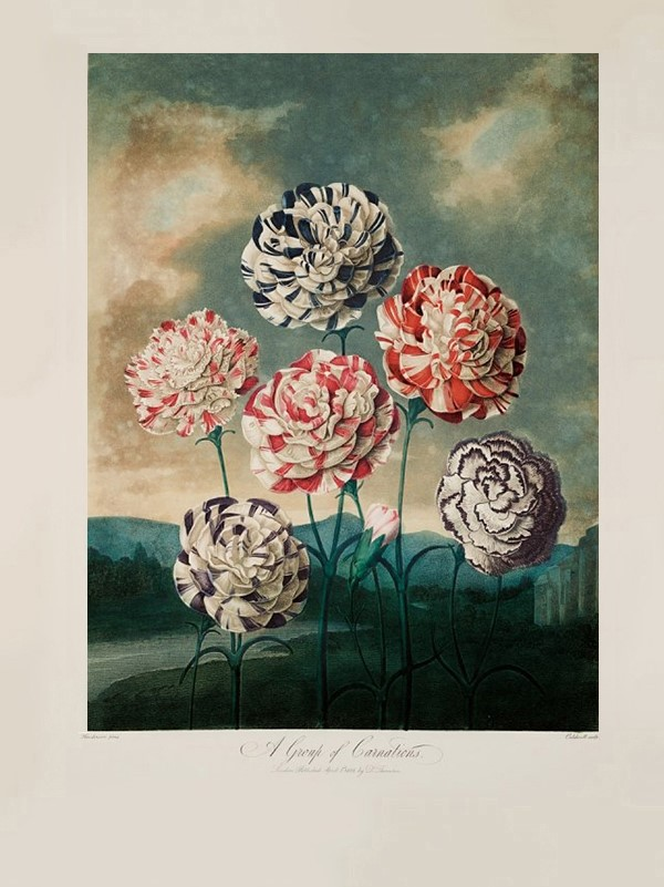 A Group of Carnations by Peter Henderson, 1803