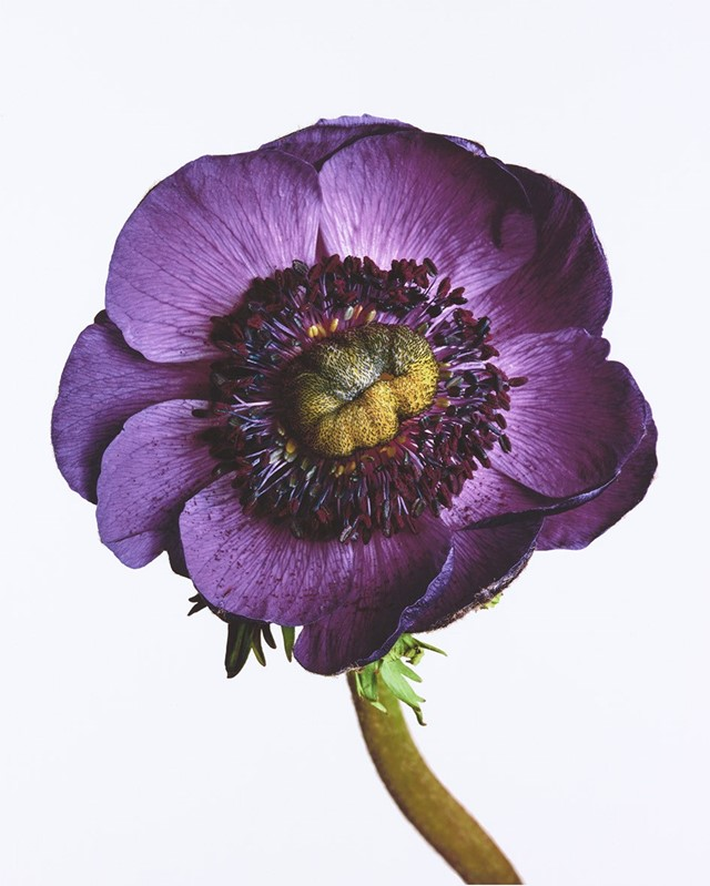 Anemone 'Inra Blue', New York, 2006 (c) Conde Nast