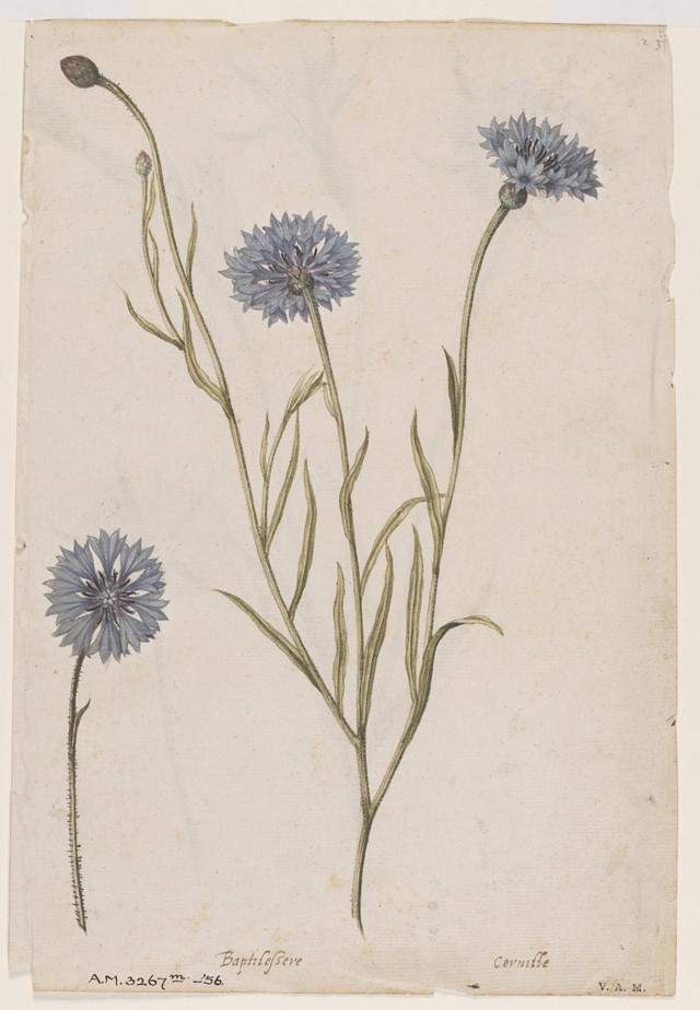 Cornflower, ca 1575, © The Victoria and Albert Mus
