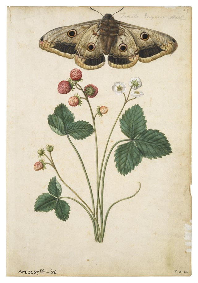Strawberry and Emperor Moth, ca 1568, © The Victor