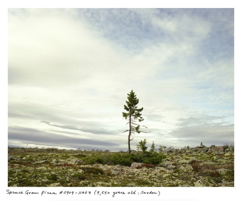 Spruce Gran Picea #0909-11A07 (9,550 years old; Sweden)